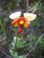 'Donkey Orchid' at Onka National Park, image provided by Dr Greg Guerin