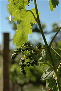 Grapes on the vine, image provided by SARDI